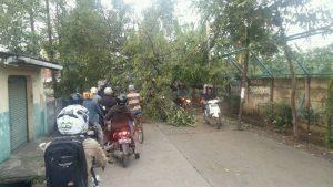 pohon besar lapuk tumbang ganggu